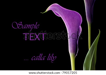 Elegant purple calla lily on black background with copy space.  Macro with shallow dof. - stock photo
