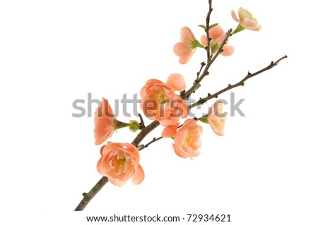 elegant quince branch blossom isolated - stock photo