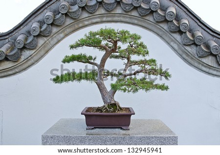 Elegant Scots Pin bonzai in a chinese garden, isolated on traditionnal chinese wall - stock photo