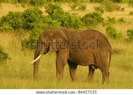 Eleohant in the grass, Masai Mara, Kenya - stock photo