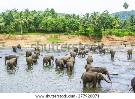 Elepants Bathing in River in the wilderness - stock photo