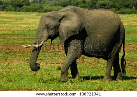 Elephant - stock photo