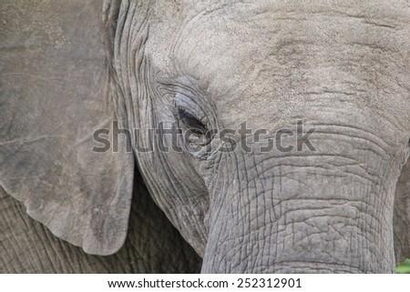 Elephant - African Wildlife Background - Majestic Nature - stock photo