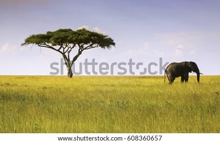 stock-photo-elephant-and-acacia-tree-lan