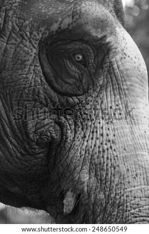 elephant and eye - stock photo