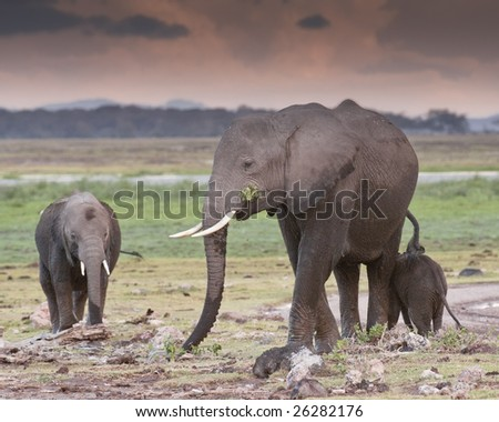 Elephant and two calfs  feeding on sunset in Amboseli National Reserve, Kenya