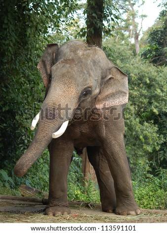 elephant approaching - stock photo