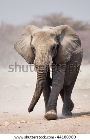 Elephant approaching over dusty sand in Etosha - stock photo