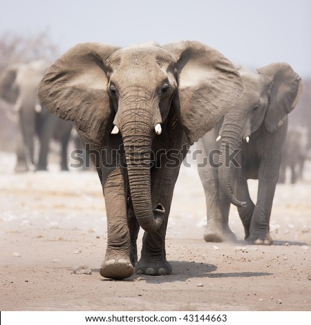 Elephant approaching over dusty sand with herd following in background - stock photo