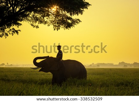 Elephant are a happy in cornfield with bulldozers and mahout of silhouette sunrise,Surin,Thailand - stock photo