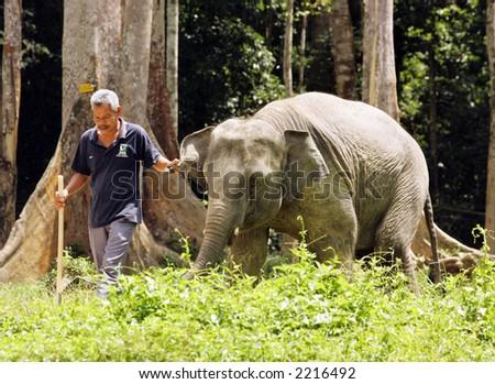Elephant at a breeding program, 2005. - stock photo
