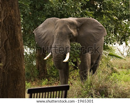 elephant at lodge in lower zambezi zambia - stock photo