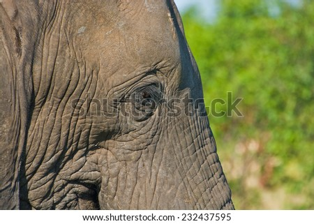 Elephant at the Kruger National Park in South Africa - stock photo