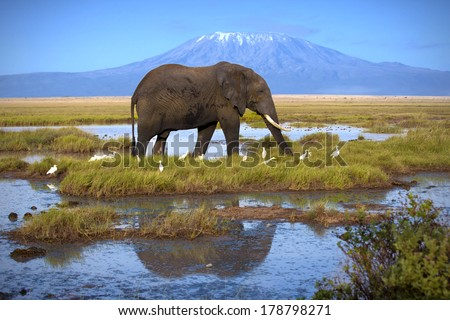 Elephant at the pool on the background of Kilimanjaro - stock photo