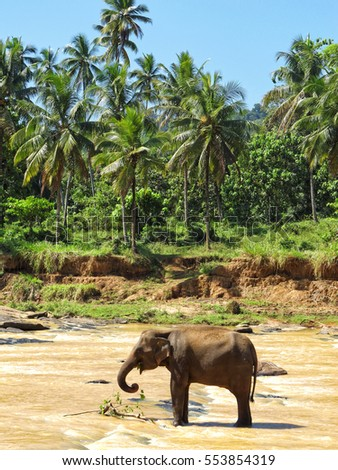 Elephant bathing in a river, Pinnawala Elephant Orphanage, Sri Lanka, Asia