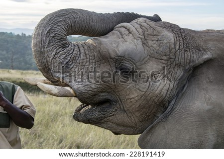 Elephant being hand fed at a game reserve in South Africa - stock photo