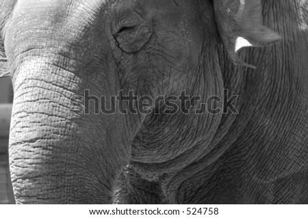 Elephant Black and White - stock photo
