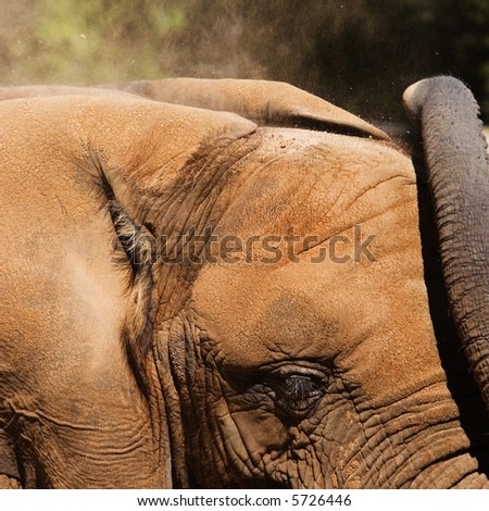 Elephant blows dirt onto his head to keep cool.