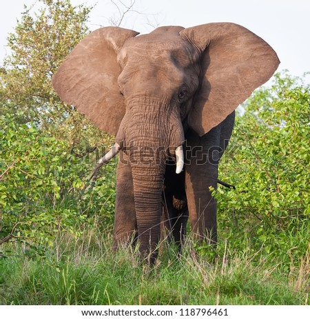 Elephant bull eating green leaves in the bush - stock photo