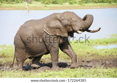 Elephant bull having a mud bath at Sable Dam in the Kruger National Park, South Africa. - stock photo