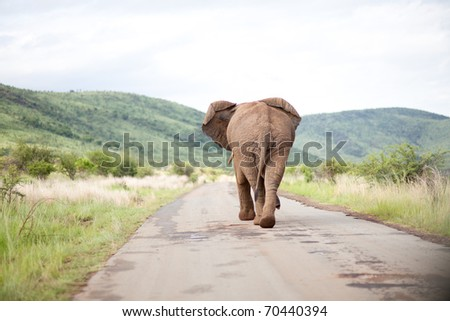 Elephant Bull in South Africa walking on a road - stock photo