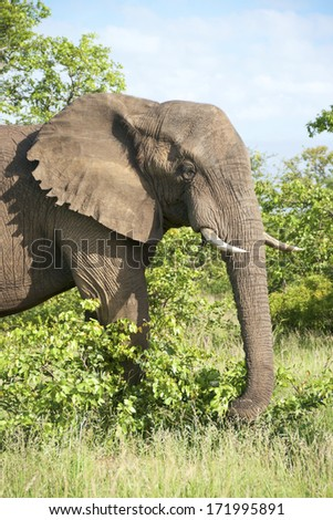 Elephant bull in the Kruger National Park, South Africa.