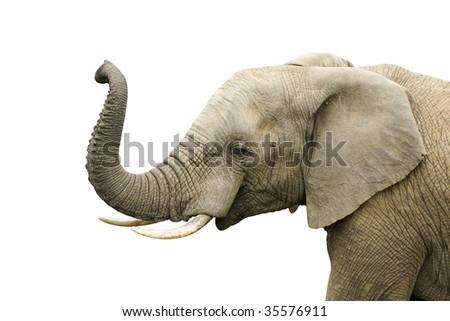 Elephant bull isolated on white - stock photo