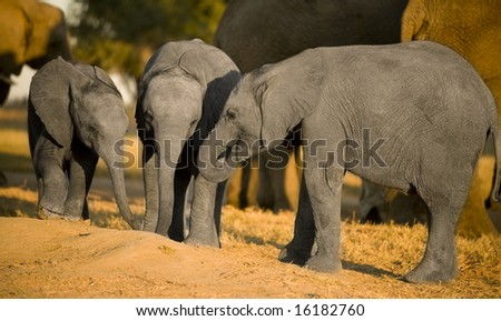 elephant calf and his mother
