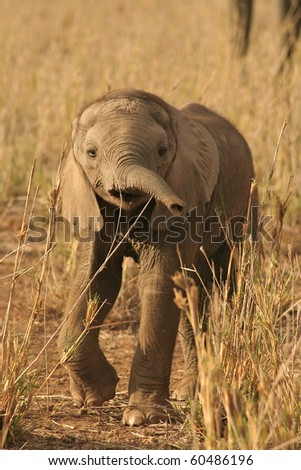 Elephant calf investigating his surroundings in African National Park - stock photo