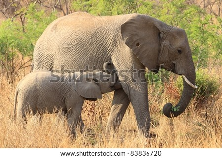 Elephant calf suckling, while adult female grazes