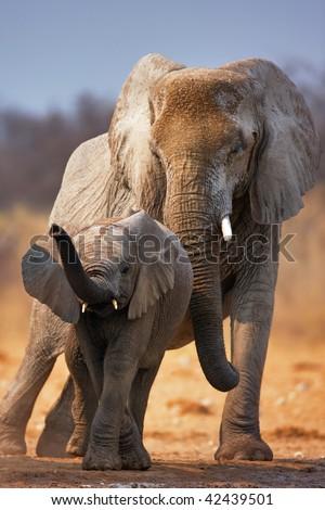 Elephant calf with adult standing behind;  Etosha - stock photo
