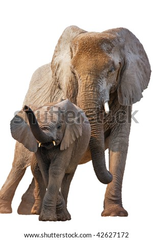 Elephant calf with adult standing behind isolated on white - stock photo