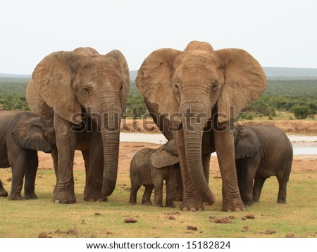 Elephant calves drinking and sharing one cow. - stock photo