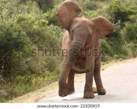 Elephant charges passing car to her left while peeing! - stock photo