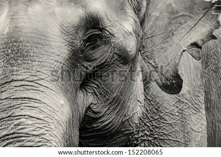 elephant close-up - stock photo