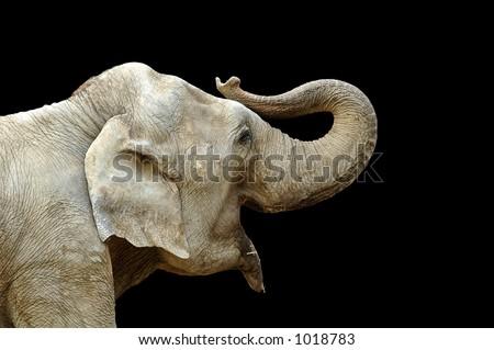 Elephant close up on black background - stock photo