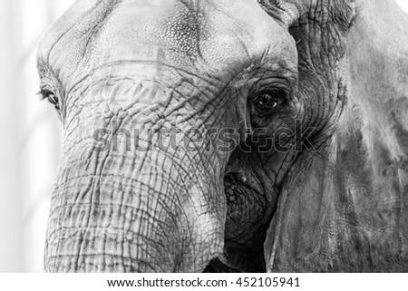 Elephant Closeup - Black and White - stock photo