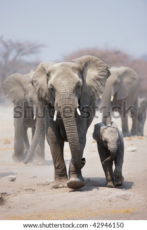 Elephant cow and calf with herd following in background; Loxodonta Africana - stock photo
