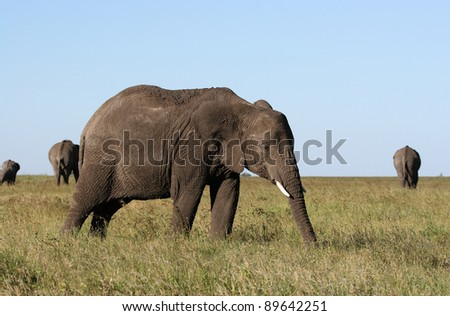 elephant cow feeding in the grass