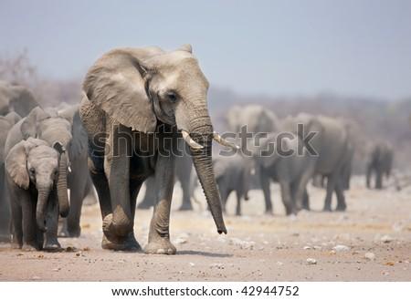 Elephant cow leading a large herd; African elephants; Loxodonta Africana - stock photo