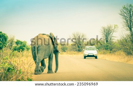 Elephant crossing the road at safari park - Concept of connection between human life and wildlife animal - Free animals in nature game reserve in South Africa - stock photo