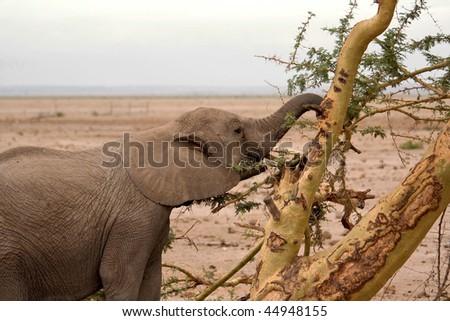 Elephant cub - stock photo