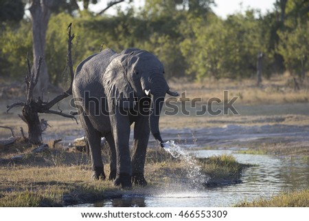 Elephant drinking and feeding on the Khawi River in Botswana Africa