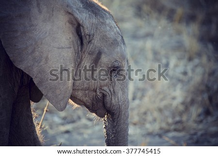 Elephant drinking and splashing water on a dry and hot day - stock photo