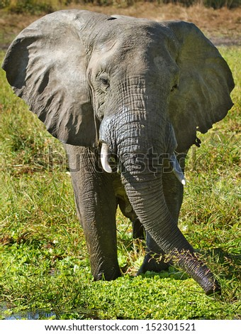 Elephant drinking in a lagoon in South Luangwa, Zambia - stock photo