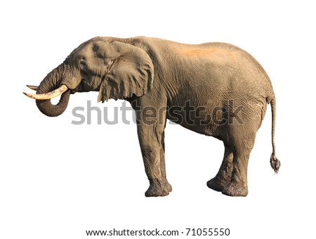 elephant drinking isolated - stock photo
