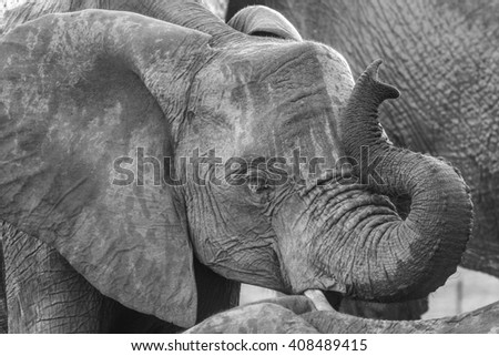 Elephant drinking water from a dam and playing with trunk