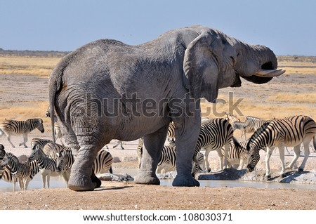 Elephant drinking water in the Etosha National Park, Namibia