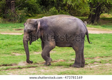 Elephant eat grass in Minneriya Park
