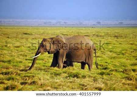 Elephant eating grass in Amboseli National Park, Kenya - stock photo